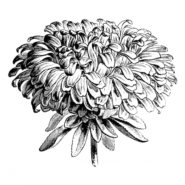 Gravure d'illustrations vintage de fleur d'aster Vecteur Premium