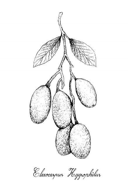Hand drawn of elaeocarpus hygrophilus Vecteur Premium