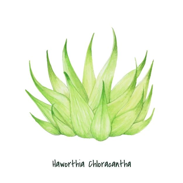 Haworthia chloracantha succulente dessinés à la main Vecteur gratuit
