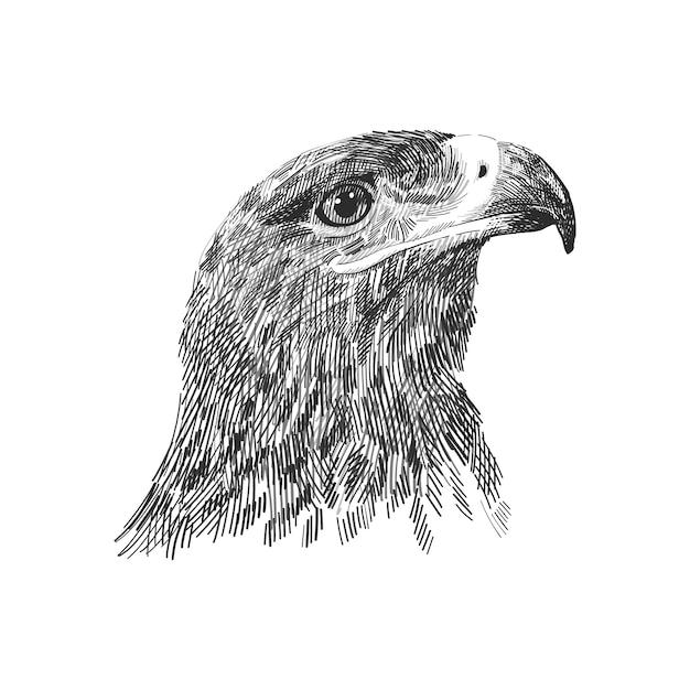 L'illustrateur noir et blanc falcon cherrug falco saker. croquis dessiné à la main. oiseau pour la fauconnerie, animal de la faune, portrait tête de faucon Vecteur Premium