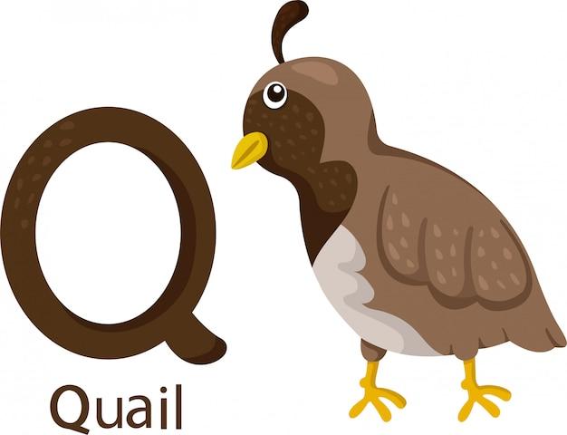 Illustrateur de q avec caille Vecteur Premium