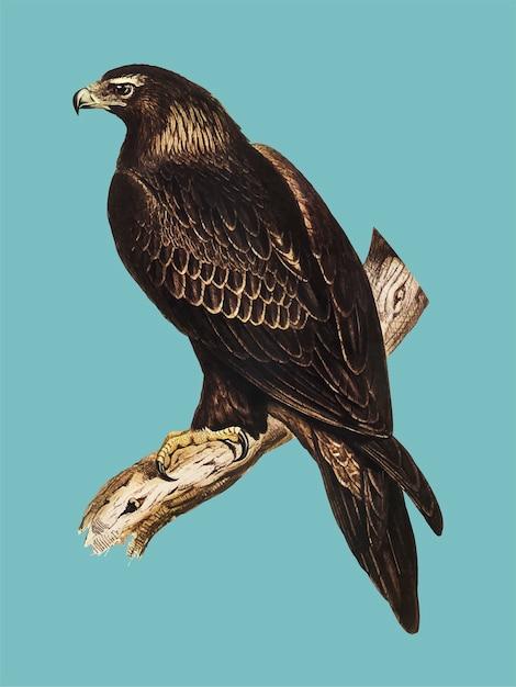Illustration de l'aigle Vecteur gratuit