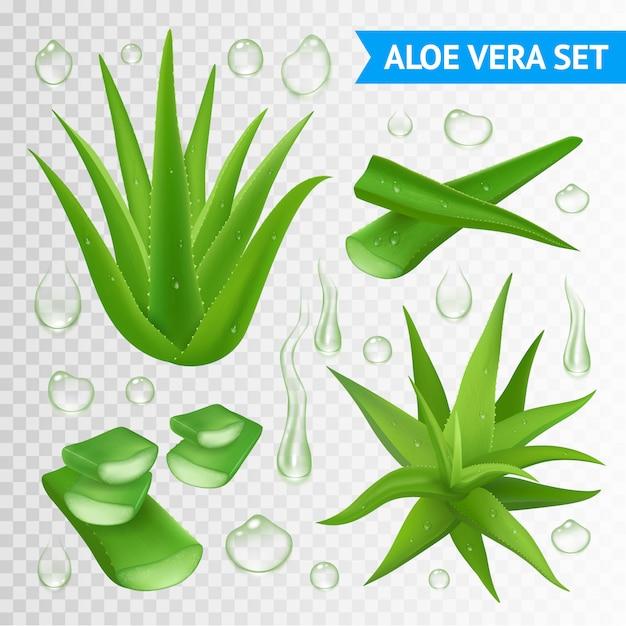 Illustration D'aloe Vera Plant Vecteur gratuit