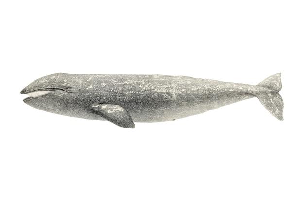 Illustration de baleine vintage Vecteur gratuit