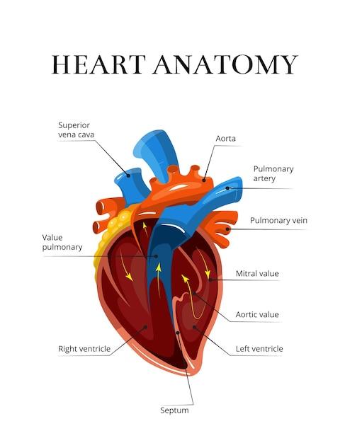 Illustration cardiologique de vecteur sectionnel coeur anatomie Vecteur Premium