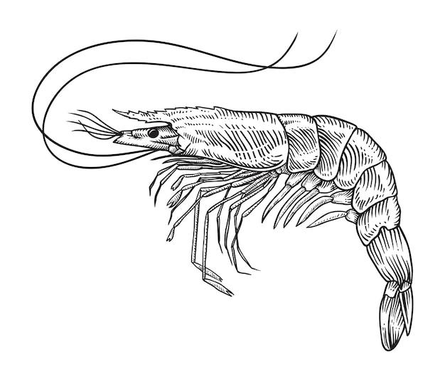 Illustration de crevettes croquis dessinés à la main Vecteur Premium