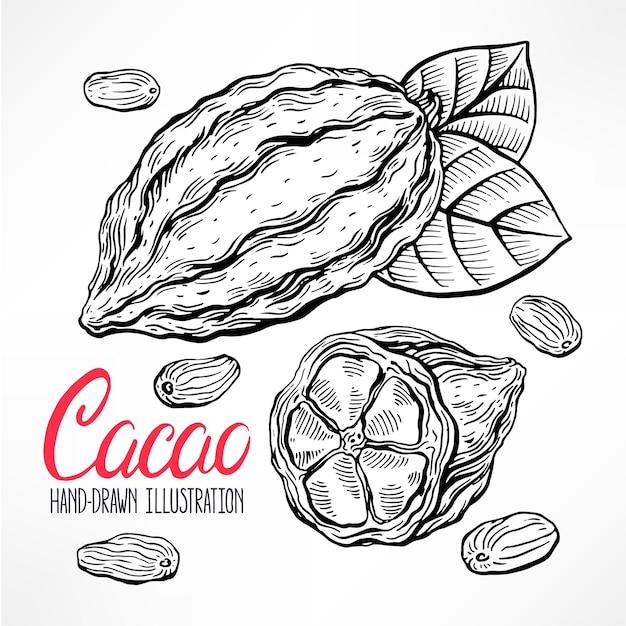 Illustration De Croquis De Haricots De Cacao Vecteur Premium