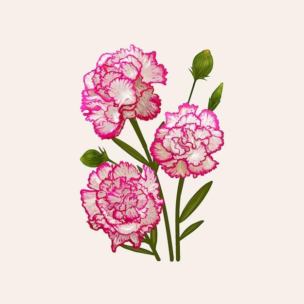Illustration dessin de dianthus caryophyllus Vecteur Premium