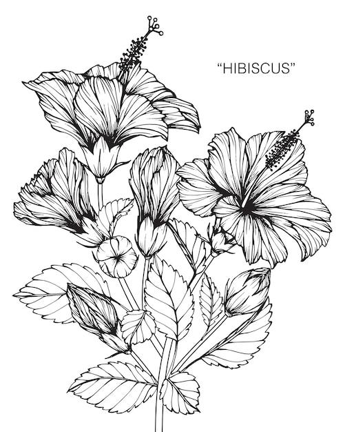 Illustration de dessin de fleur d 39 hibiscus t l charger des vecteurs premium - Dessin hibiscus ...