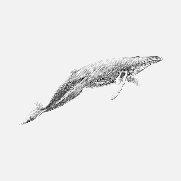 Illustration Dessin Stye De Baleine A Bosse Vecteur Premium