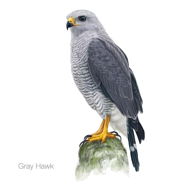 Illustration dessinée à la main par un faucon gris Vecteur Premium