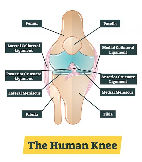 L'illustration de diagramme de vecteur de genou humain Vecteur Premium
