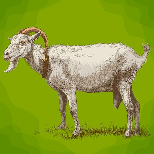 Illustration de gravure de chèvre Vecteur Premium
