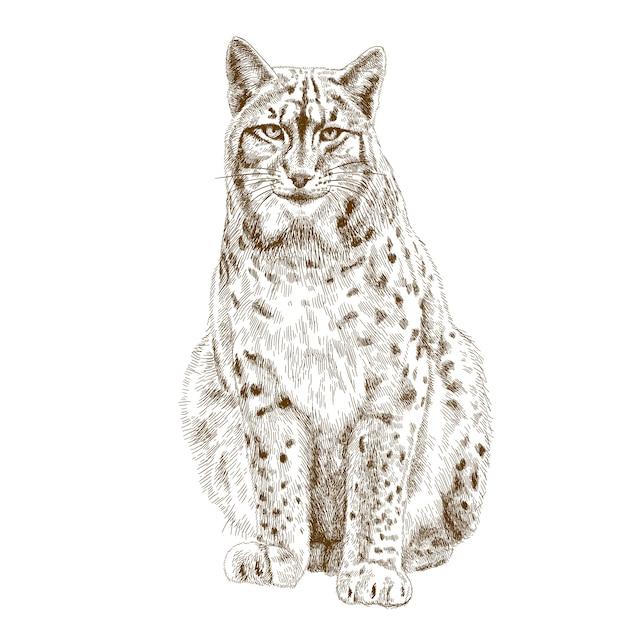 Illustration de gravure de lynx Vecteur Premium