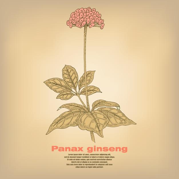 Illustration Des Herbes Médicales Panax Ginseng. Vecteur Premium