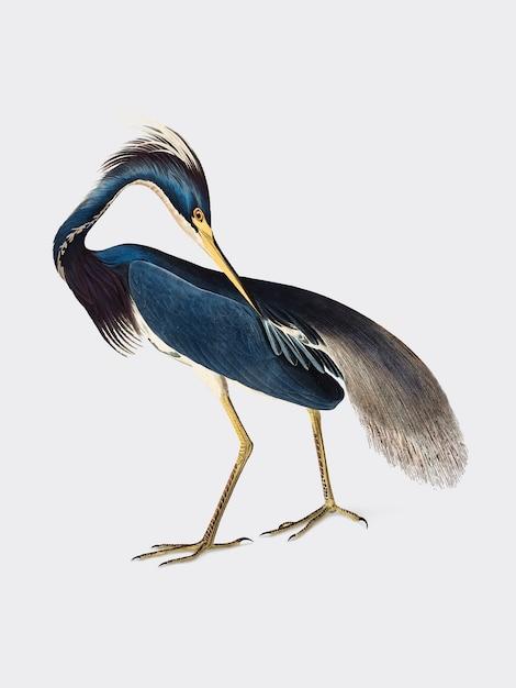 Illustration de louisiana heron Vecteur gratuit