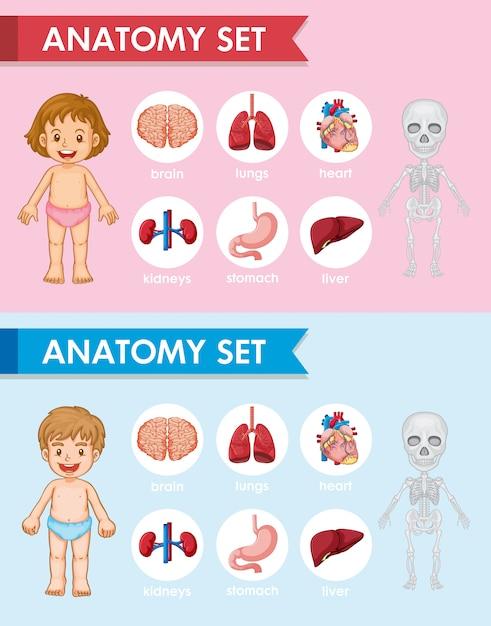 Illustration médicale scientifique de pièces d'antomie humaines Vecteur gratuit