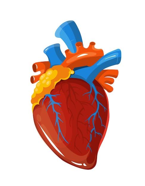 Illustration médicale de vecteur de coeur humain anatomie Vecteur Premium
