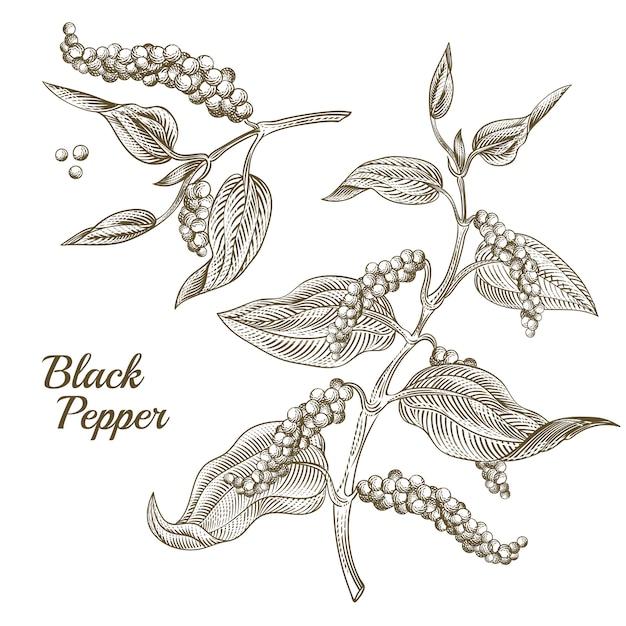 Illustration de plante de poivre noir avec des feuilles et des grains de poivre, isolé sur fond blanc. Vecteur gratuit