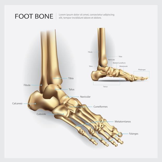 Illustration vectorielle d'anatomie des os du pied Vecteur Premium
