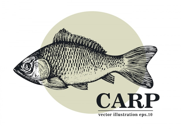 Illustration vectorielle dessinés à la main de poisson carpe. Vecteur Premium