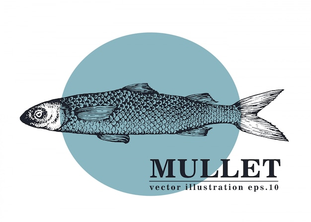 Illustration vectorielle dessinés à la main de poisson mulet. Vecteur Premium