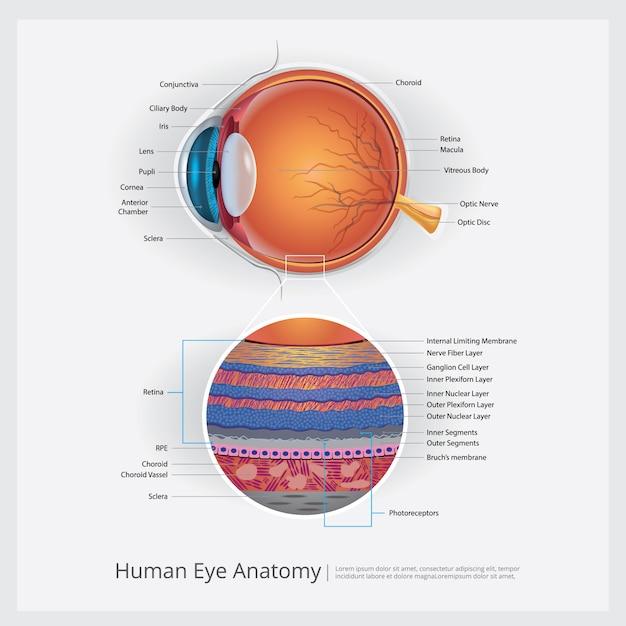 Illustration vectorielle d'oeil humain anatomie Vecteur Premium