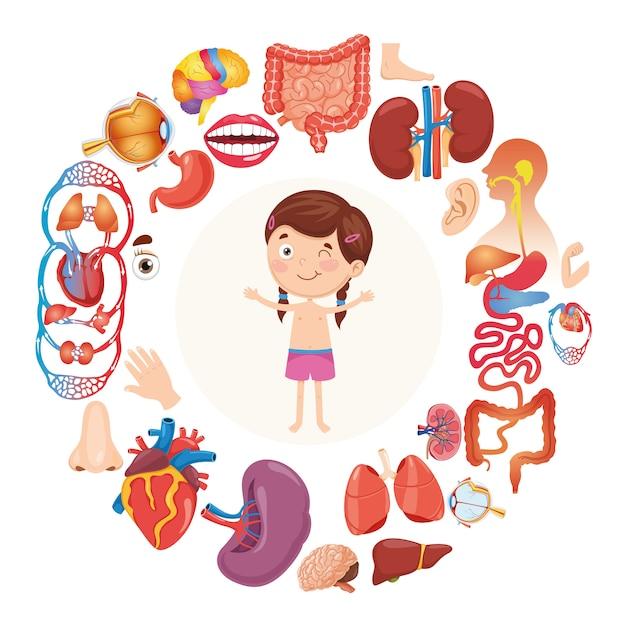 Illustration vectorielle d'organes humains Vecteur Premium