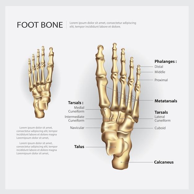 Illustration vectorielle d'os de pied humain Vecteur Premium