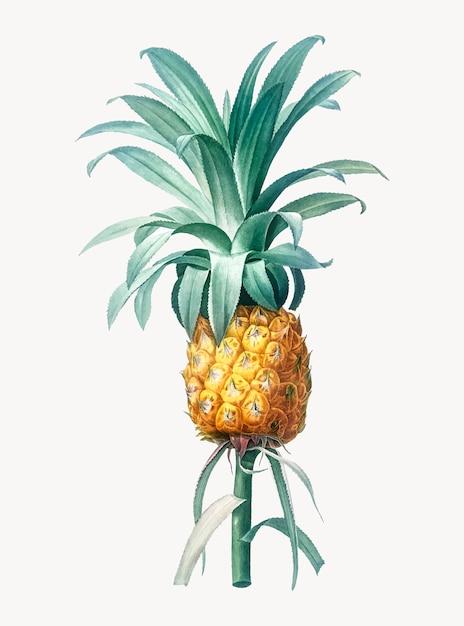 Illustration vintage d'ananas Vecteur gratuit