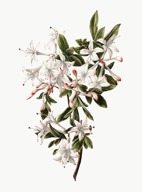 Illustration Vintage De Branche D'azalées En Fleurs Vecteur gratuit