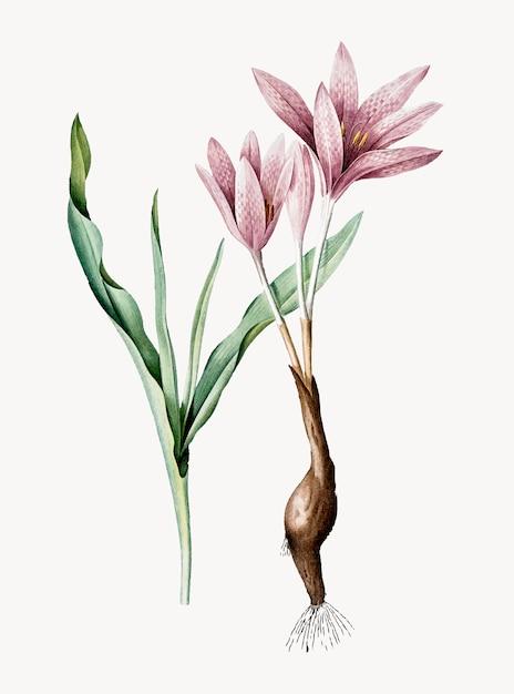 Illustration vintage de crocus d'automne Vecteur gratuit