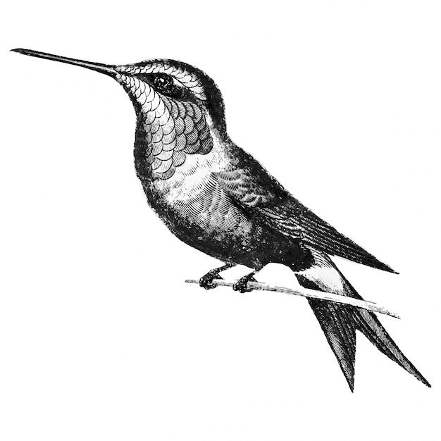 Illustrations anciennes d'amethyst woodestar Vecteur gratuit