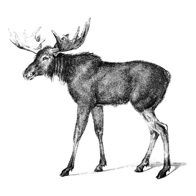 Illustrations anciennes de moose Vecteur gratuit