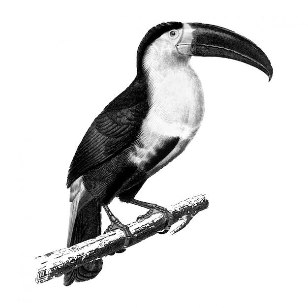Illustrations anciennes de toucan Vecteur gratuit
