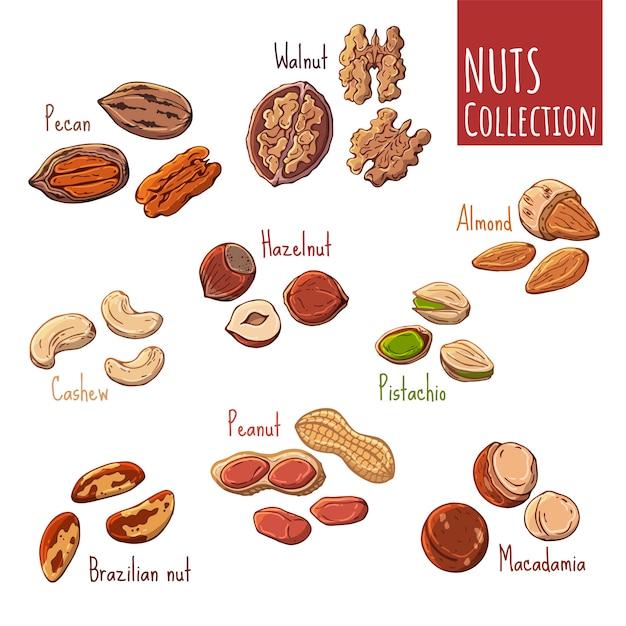 Illustrations colorées sur le thème des noix. Vecteur Premium