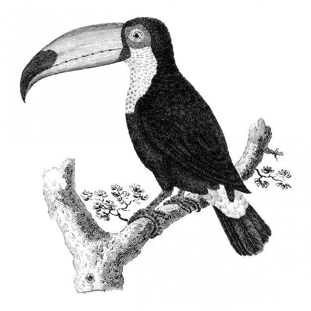 Illustrations d'époque de l'oiseau toco Vecteur gratuit