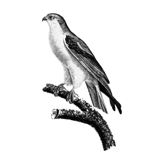 Illustrations vintages du cerf-volant à ailes noires Vecteur gratuit
