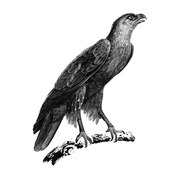 Illustrations vintages du grand aigle tacheté Vecteur gratuit