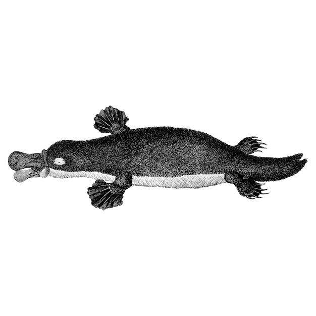 Illustrations vintages d'ornithorynques à bec de canard Vecteur gratuit