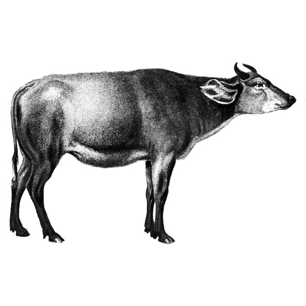 Illustrations vintages de vache Vecteur gratuit