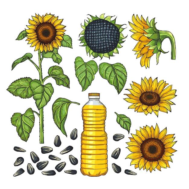 Images vectorielles de produits nature. différents côtés du tournesol Vecteur Premium
