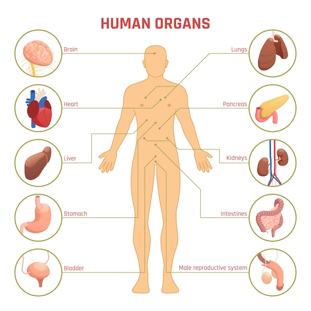 Infographie Des Organes Humains Vecteur gratuit