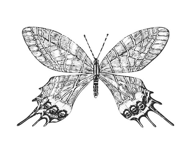 Insectes Papillons Ou Papillons Sauvages. Bhoutanite Lidderdalii Ou Gloire Du Bhoutan. Vecteur Premium