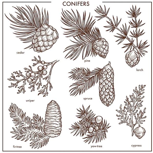Jeu d'illustrations monochromes de conifères naturels petites branches isolées Vecteur Premium