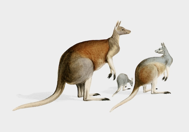 Kangourou Vecteur gratuit