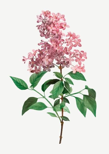 Lilas chinois Vecteur gratuit