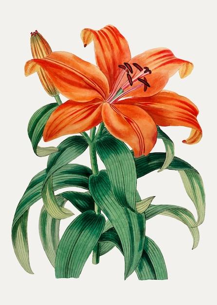 Lys orange sukashiyuri Vecteur gratuit