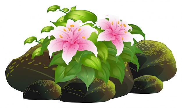 Lys rose fleurs et rochers sur blanc Vecteur gratuit