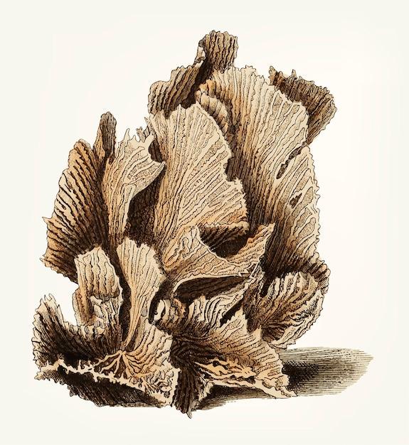 Madrepore de laitue dessiné à la main Vecteur gratuit